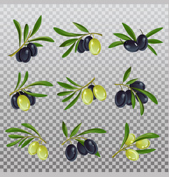isolated olive branch with ripe and raw berries vector image