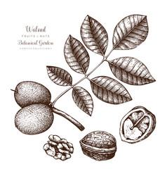 walnut botanical vector image