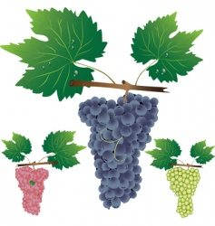 three cluster of grapes vector image vector image
