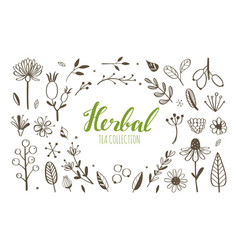 herbal tea and floral doodle set vector image