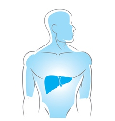 internal organs liver vector image