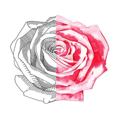 hand draw sketch ink and watercolor rose vector image