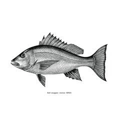 red snapper hand drawing vintage engraving vector image