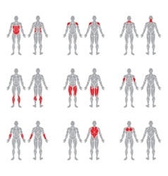 Human body muscles vector
