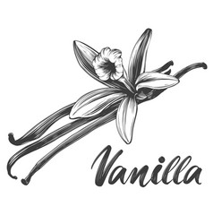 vanilla spice ingredient for cooking food isolated vector image