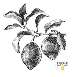 hand drawn branch lemons vector image