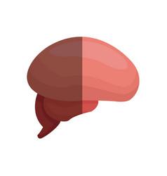 brain human part healthy organ image vector image