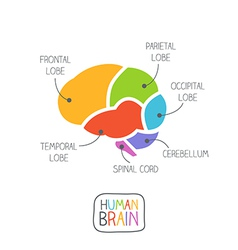 Human Brain Section vector image