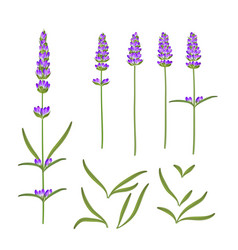 Provence flowers collection set lavender vector
