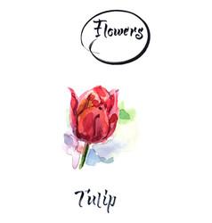 Red tulip flower watercolor vector
