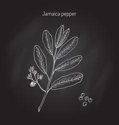 allspice aromatic plant vector image