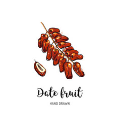 Date fruit drawing dried dates watercolor dates vector