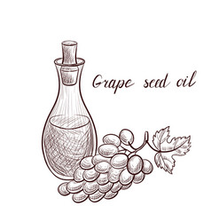 Drawing grape seed oil vector