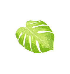 Monstera palm leaf isolated vector