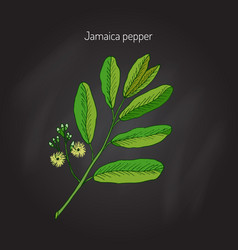 allspice aromatic plant vector image vector image