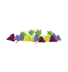 Bunches of Wine Grapes vector image