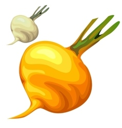 Yellow delicious sweet ripe turnip vector image