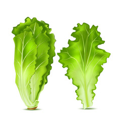 Realistic lettuce salad leaves vector