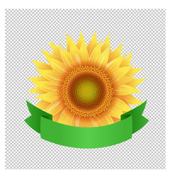 sunflowers with green ribbon transparent vector image