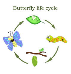 butterfly life cycle in a cartoon style vector image