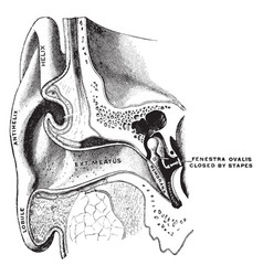 Ear showing auditory canal and tympanum vintage vector