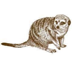 Engraving drawing of meerkat vector
