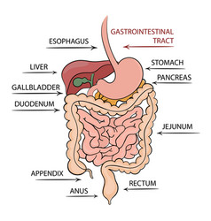 pancreas gastrointestinal tract education diagram vector image