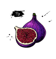 fig drawing hand drawn fruit and sliced vector image