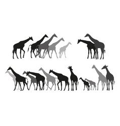Group black and grey silhouettes giraffes vector