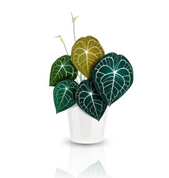 Heart shape leaves anthurium plant vector