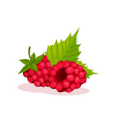 two pink raspberries with green leaves healthy vector image