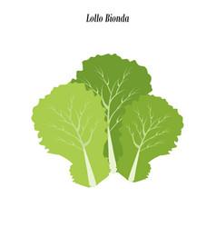 Lollo bionda lettuce vector
