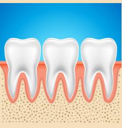 tooth dental anatomy human bone vector image
