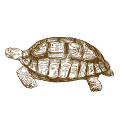 engraving drawing of big turtle vector image