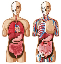 Human anatomy model with different systems vector image vector image