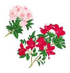 Branches light pink and red flowers rhododendrons vector