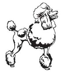 decorative standing portrait of poodle vector image