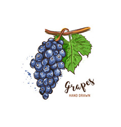 grapes fruit drawing watercolor grapes on a white vector image
