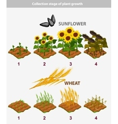 Plant growth stage Sunflower and Wheat vector