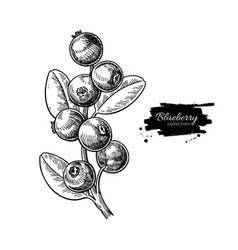 Blueberry drawing isolated berry branch vector