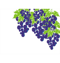 grape isolated on white vector image