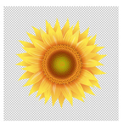 Yellow sunflower with transparent background vector