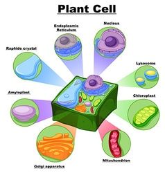 Diagram showing parts plant cell vector