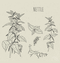 Nettle medical botanical isolated vector