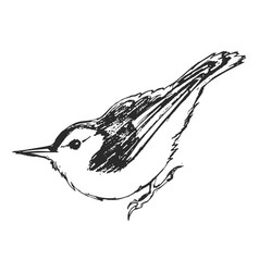 Sketch nuthatch vector