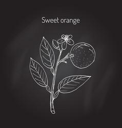 Sweet orange tree vector