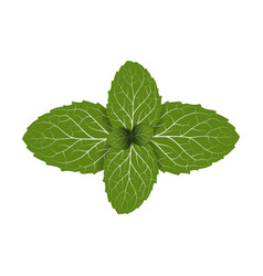 peppermint leaf vector image