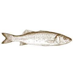 Engraving of sea bass vector