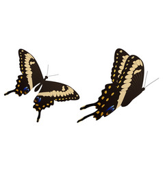 Black swallowtail butterfly vector