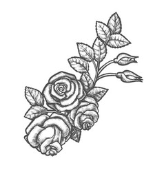 branch with rose flower and buds leaves sketch vector image